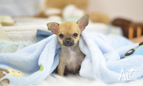 100% Genuine Tiny Teacup Size Chihuahua for Sale in SYDNEY, New