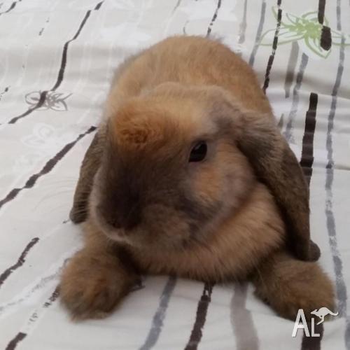 12 weeks male bunny