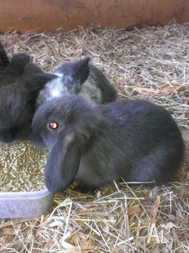 1 purebred Dwarf lopeared rabbit. Reduce price to sell