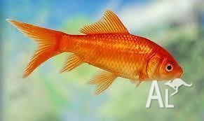 20cm Goldfish