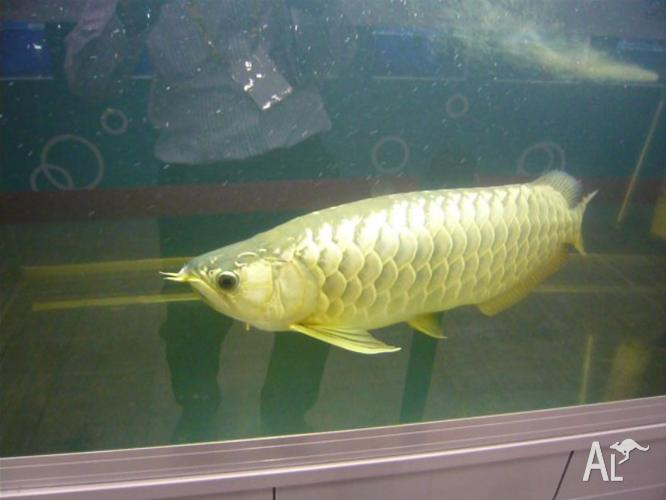 ... Golden Arowana fishes on sale... in ADELAIDE, South Australia for sale