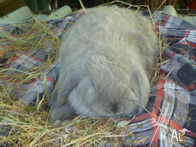 2 Dwarf Lop Rabbits