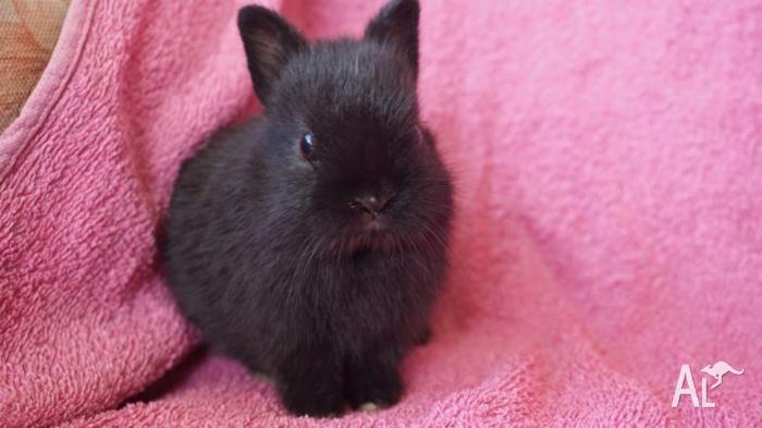 2 Pure Black Purebred Netherland Dwarf Bunny