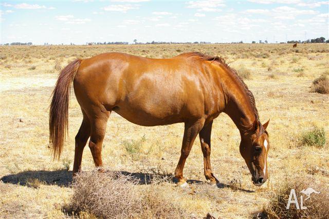 2 REGISTERED QUARTER HORSE BROODMARES -CUTTING BRED