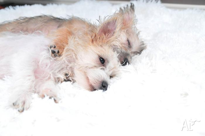 2 x Beautifull Maltese x Silky Puppies for Loving Home.