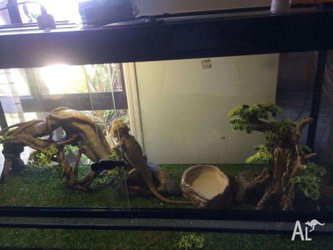 2x Bearded Dragons Digital Thermostat Amp Accessories For Sale In Booral Queensland Classified