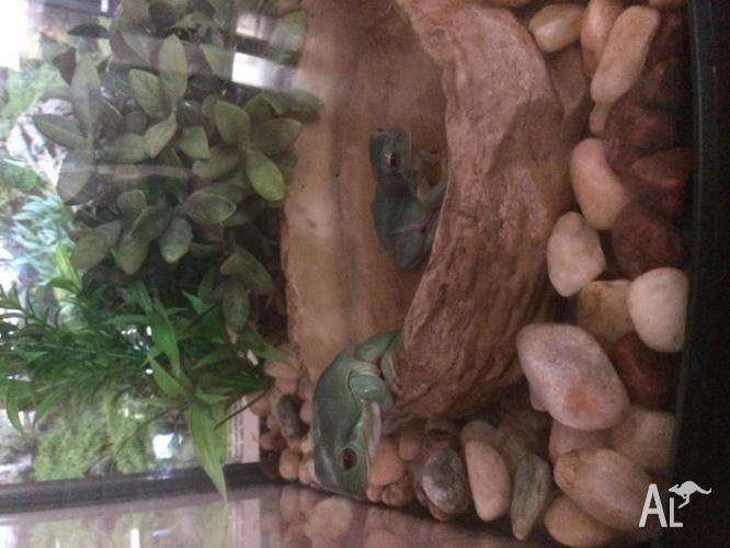 2x Green Tree Frogs + Aquarium