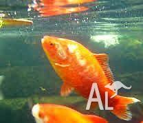 30 cm Goldfish For Sale (cold water fish)