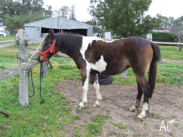 3/4 Australian Pony Pinto