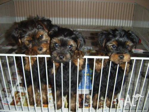 3 Adorable AKC registered Yorkshire Terrier puppies