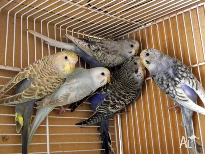 5 baby budgies - $15 00 each Nesting boxes from $5 00 each