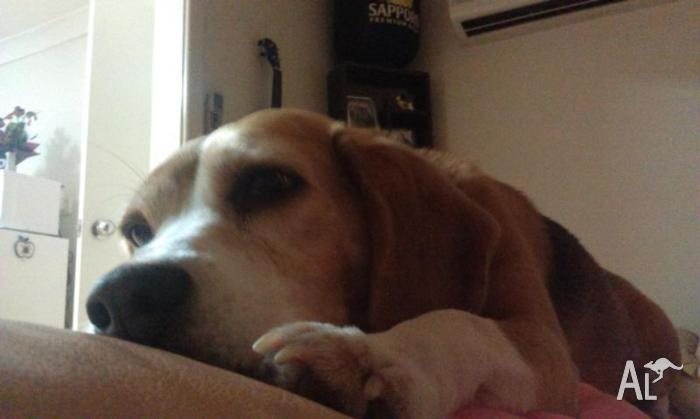 6 year old female beagle for sale