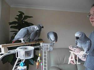 Adorable Congo African Grey parrots for sale