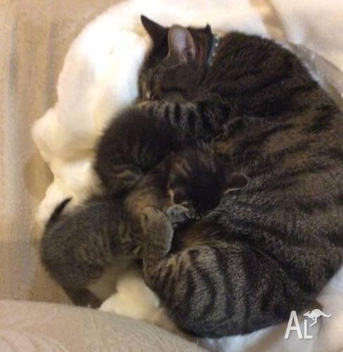 Adorable Kittens for Sale!