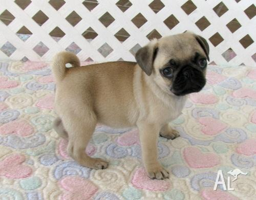 Adorable Pug puppies for sale for Sale in MELBOURNE, Victoria