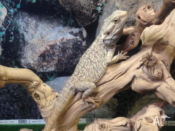Adult Central Bearded Dragons - Males