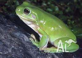 Adult Green Tree Frogs