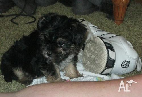Affenpinscher puppies for sale for Sale in SYDNEY, New South