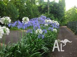 AGAPANTHUS - PALE BLUE