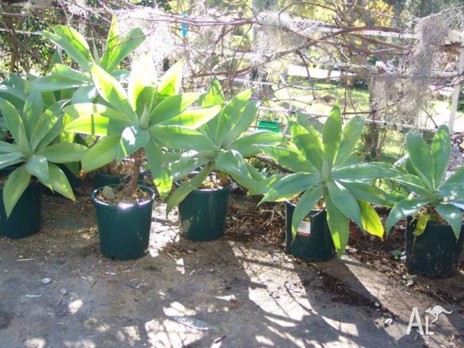 Agave plants in all sizes from $10 Bargain!