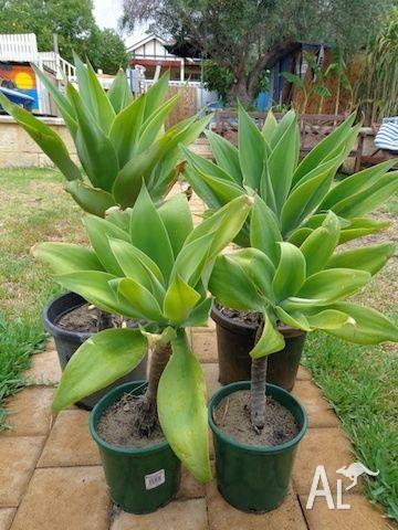 Agaves - Various sizes