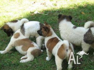 Dogs For Sale Bunbury