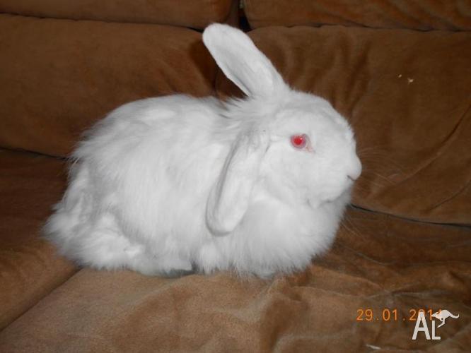 Albino loop eared cashmere rabbit