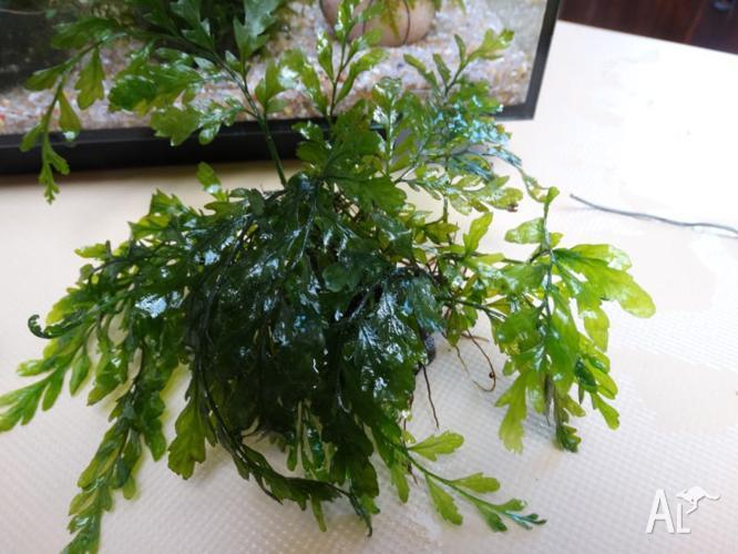 Aquarium plant- rare Bolbitus- $20 on rock- ready for