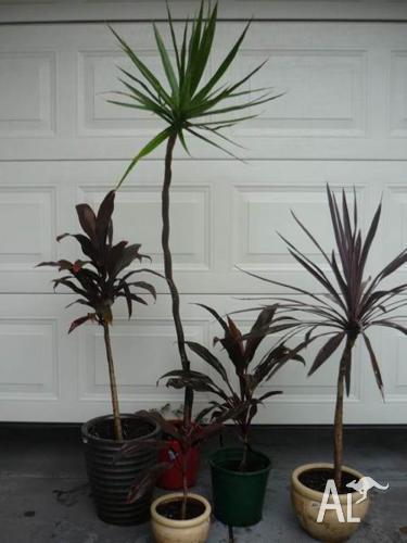 Assorted DRACAENA plants ($10 up to $20)