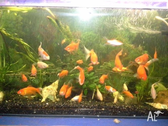 Assorted goldfish pond plants aquarium plants for sale for Goldfish pond plants
