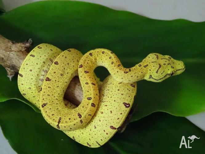 Aussie Green Tree Python Juveniles