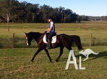 Aust Stock horse x Thoroughbred