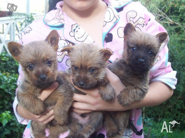 Austrailan terrier x Cairn terrier for Sale in CLARENDON, New South
