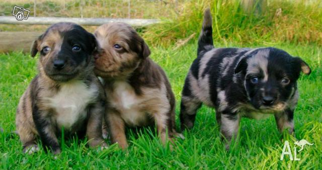 Australian Koolie/Kelpie Puppies for Sale in WALLAN