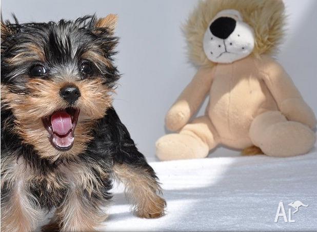 Yorkshire terrier for sale in melbourne australia