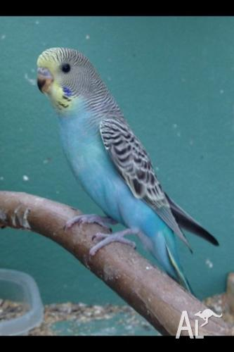 Baby budgie for Sale in BURRA, New South Wales Classified
