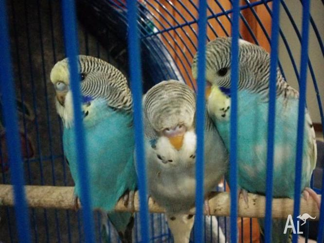 Baby budgies, just out of nest.