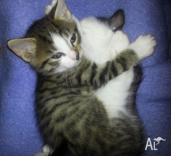 Baby Kittens Play (40x50 cm Print)