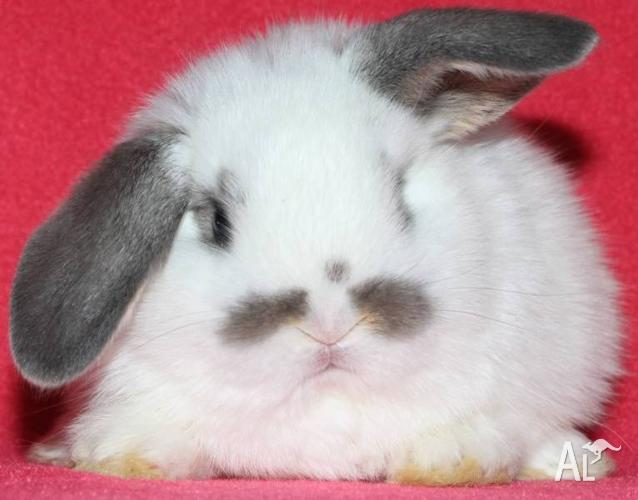 BABY LOPS,DWARFS,DUTCH,REX(from $20,lots to choose from