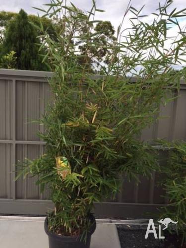 Bamboo,EAZY SCREEN,(Bamboozle)X3