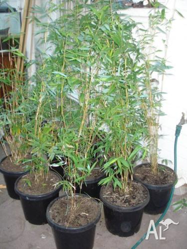 Bambusa Multiplex,Alphonse Kar Bamboo 300mm pots