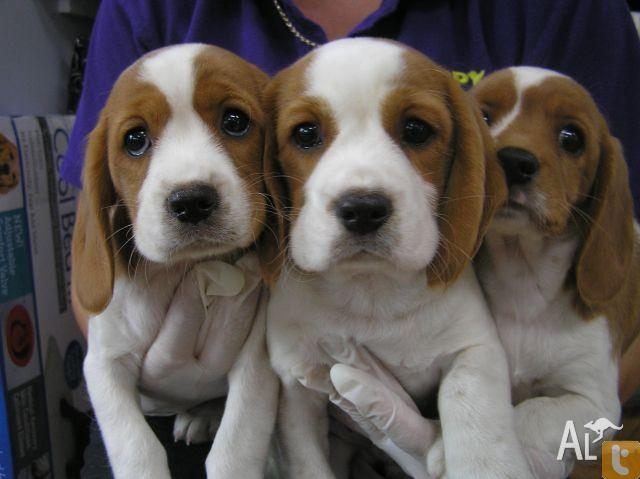 Beagle Spaniel Puppies