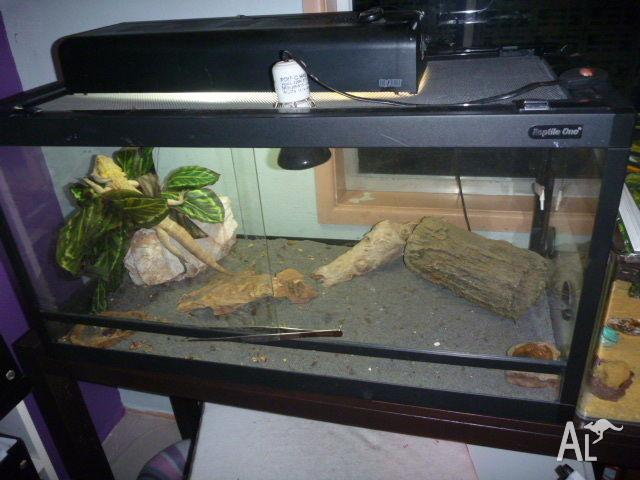 Bearded Dragon and Tank set up...