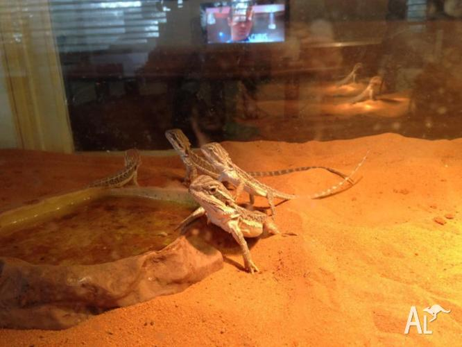 Bearded Dragon juveniles 6 months