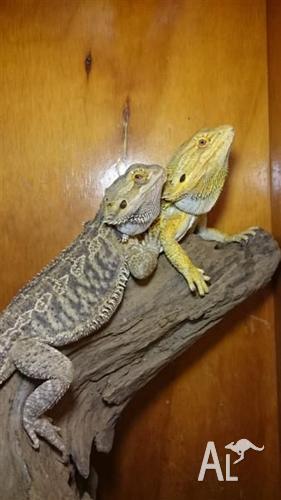 BEARDED DRAGON pair inc ENCLOSURE