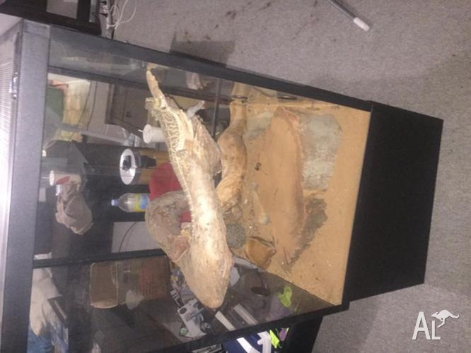 Bearded dragon with terrarium