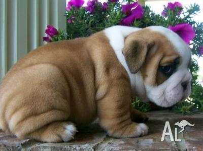 Beautiful and Cute of AKC pure bred Enlish Bull puppies