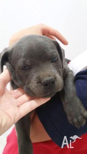 Beautiful Blue English Staffy Puppies