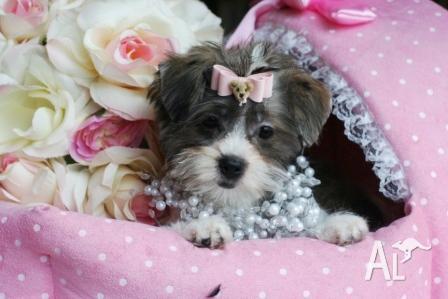 Beautiful Female Shih Tzu Maltese X Puppy For Sale In Casuarina