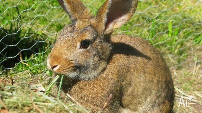 Beautiful, loving pet rabbit for sale!
